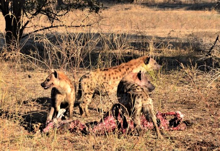 Hienas devorando antílope
