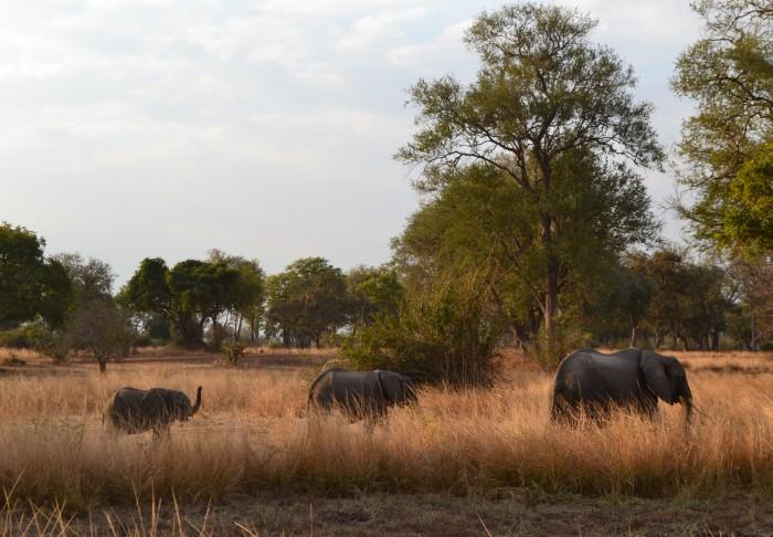 Elefantes en South Luangwa