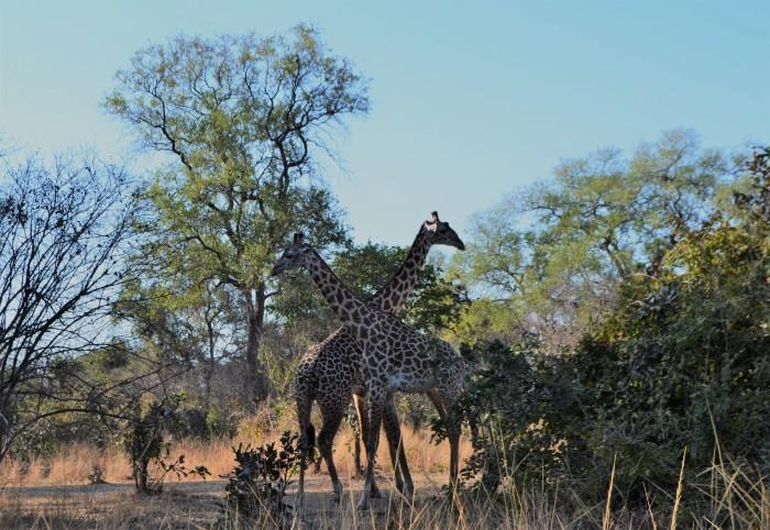 Jirafas en Zambia