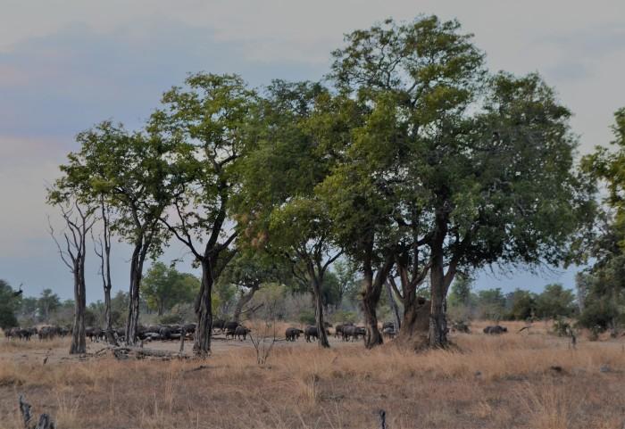 Manada de búfalos en Zambia