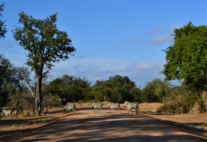 Paso de cebras en South Luangwa