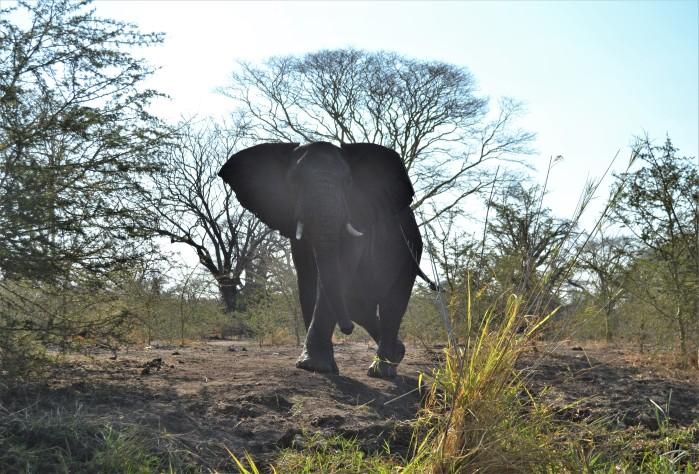 Elefante en el Parque Liwonde