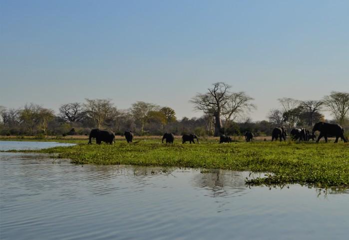 Elefantes africanos en Liwonde
