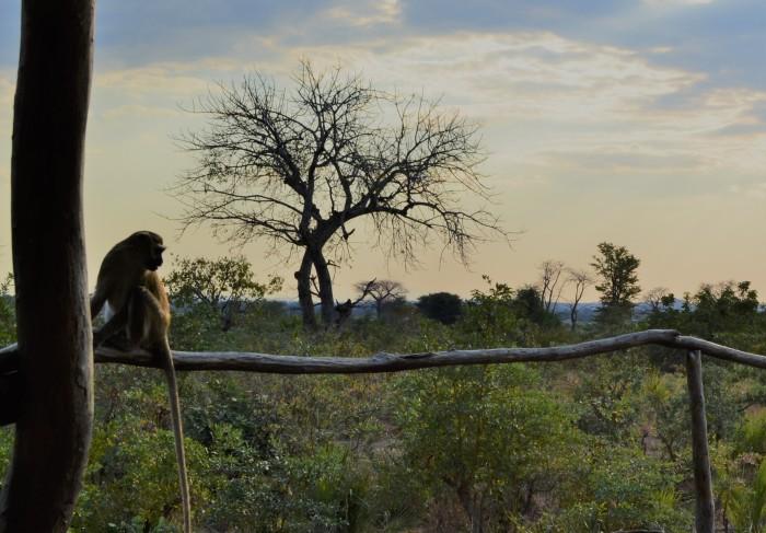 Mono en Liwonde Park
