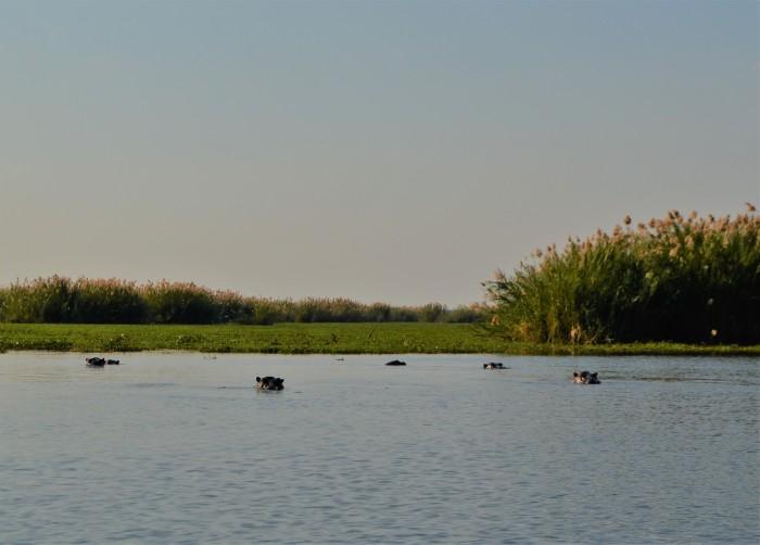 Safari con hipopótamos