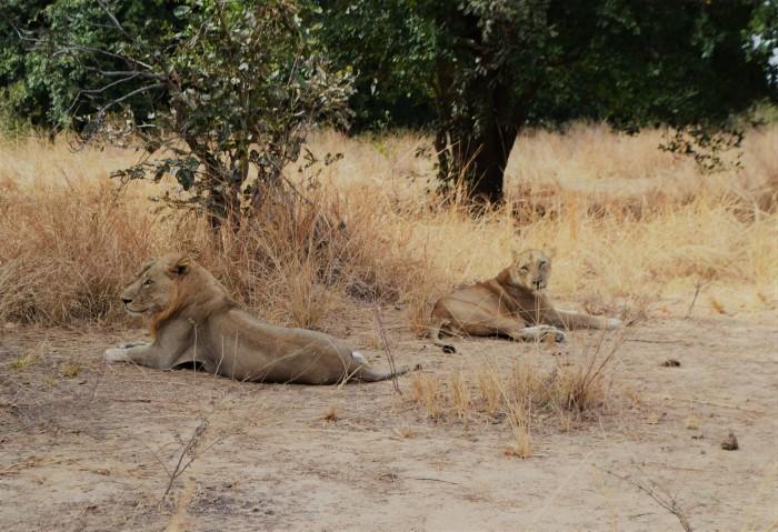 Ver leones en África